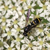 170630 7 Willow mason-wasp