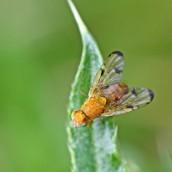 170702 Banded burdock fly