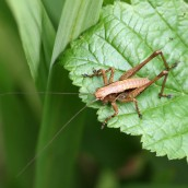 170702 Dark bush-cricket