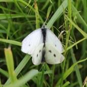 170702 Small whites