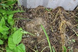 170703 Vole nest under refugia