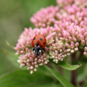 170701 7-spot ladybird