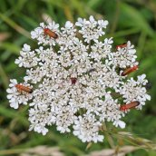 170701 Common red soldier beetle