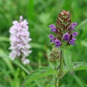 170701 Common spotted orchid & Selfheal
