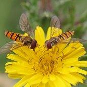 170701 Marmalade hoverfly