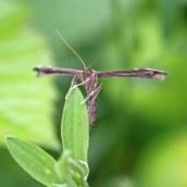 170701 Plume moth