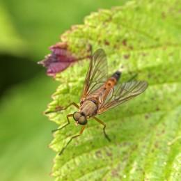 170701 Snipe fly