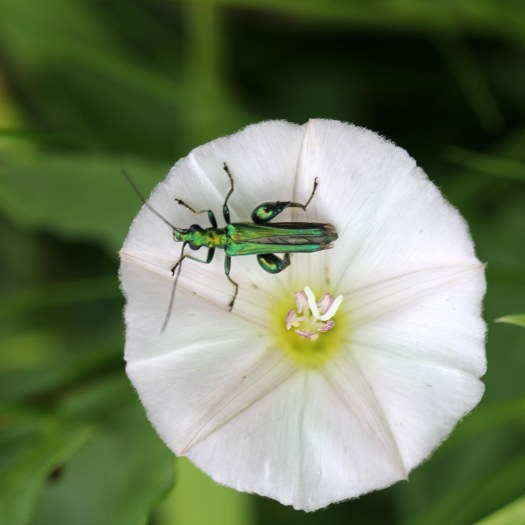 170701 Swollen-thighed beetle