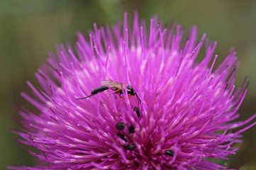 170707 another thistle