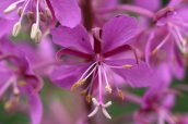 170707 Rosebay willowherb