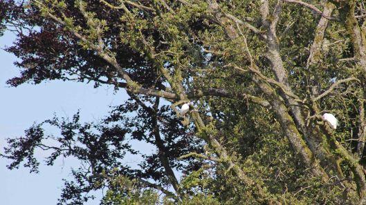 170709 Little egrets (3)