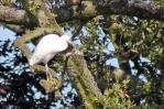 170709 Little egrets (4)