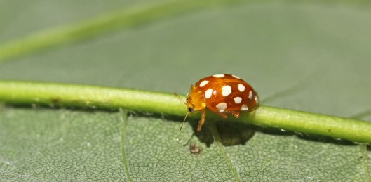 170711 Orange Ladybird (1)