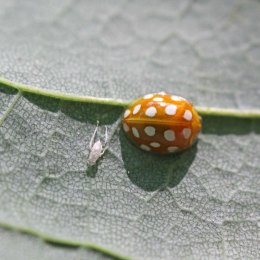 170711 Orange Ladybird (2)