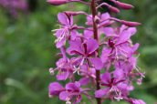 170714 Rosebay willowherb (2)
