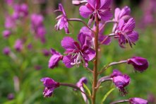 170714 Rosebay willowherb (6)