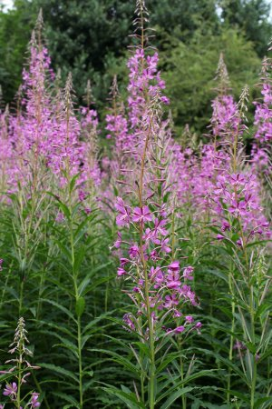 170714 Rosebay willowherb (8)