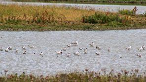 170717 Common & Black-headed gulls