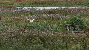 170717 Little egret