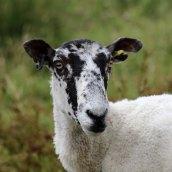 170717 local sheep