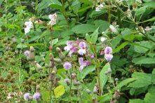 170719 Himalayan balsam