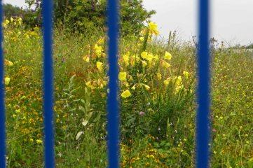 170719 Large-flowered evening primrose