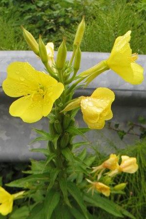 170719 Small-flowered evening primrose