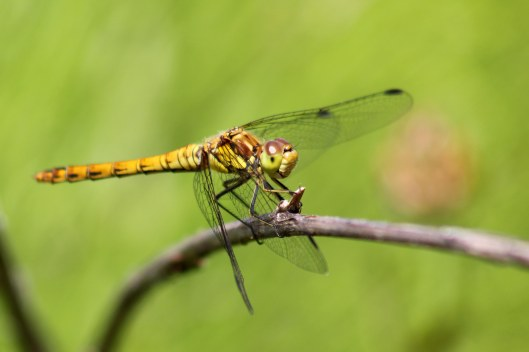 170720 Common darter (1)