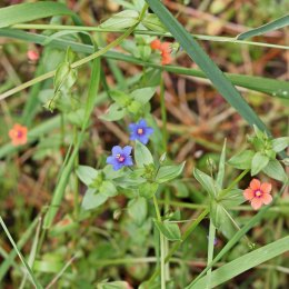 170721 Blue-flowered Scarlet pimpernel (2)