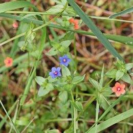 170721 Blue-flowered Scarlet pimpernel (2)