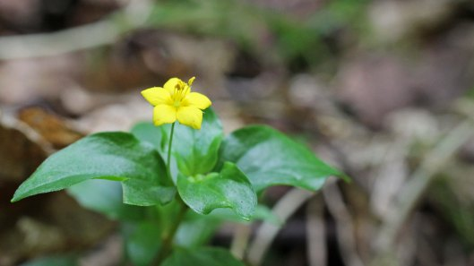 170721 Yellow pimpernel