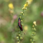 170722 6-spot Burnet moth (10)