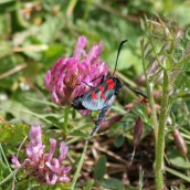 170722 6-spot Burnet moth (12)