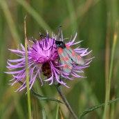 170722 6-spot Burnet moth (13)