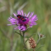 170722 6-spot Burnet moth (2)