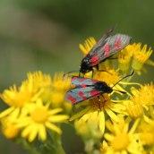 170722 6-spot Burnet moth (3)