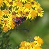 170722 6-spot Burnet moth (4)