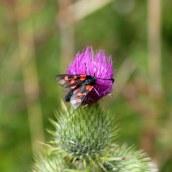 170722 6-spot Burnet moth (6)