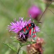 170722 6-spot Burnet moth (7)