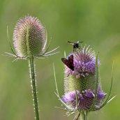 170722 6-spot Burnet moth (8)