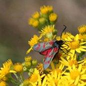 170722 6-spot Burnet moth (9)