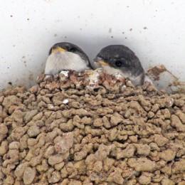 170723 House martin nest (10)