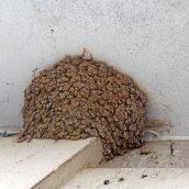 170723 House martin nest (2)