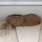 170723 House martin nest (3)