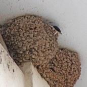 170723 House martin nest (7)