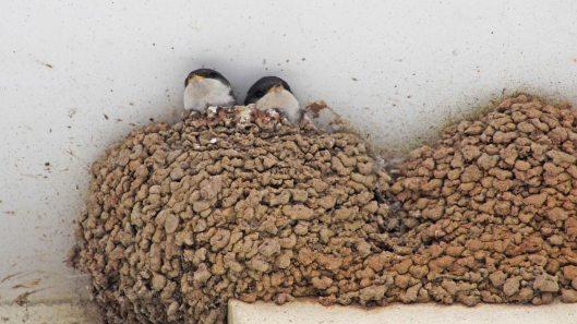 170723 House martin nest (8)