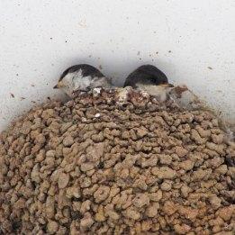 170723 House martin nest (9)