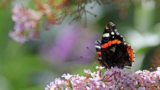 170724 Buddleja & butterfly (1)