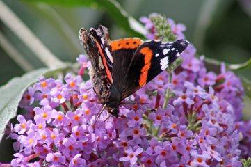 170724 Buddleja & butterfly (2)