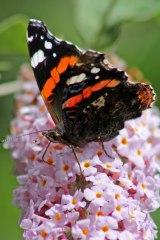170724 Buddleja & butterfly (3)